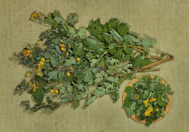 celandine torra örtar Växt- medicin, phytotherapy medicinskt honom royaltyfria foton