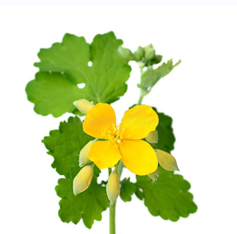 Celandineblumen mit Blättern. lizenzfreie stockfotos