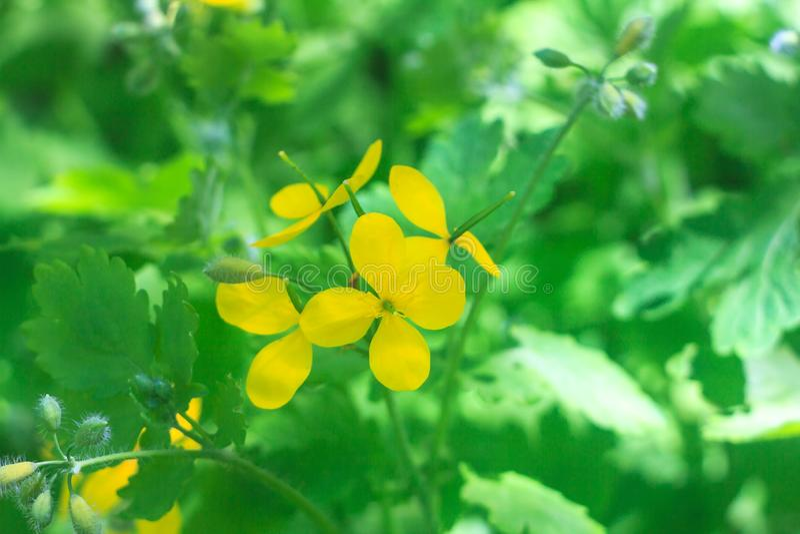 Celandineväxter med den gula blomman och gröna mönstrade sidor arkivfoton