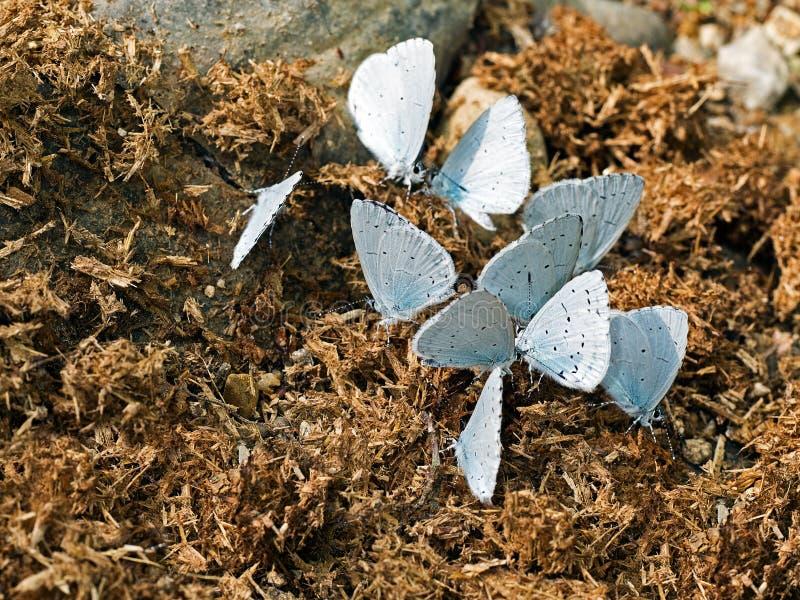 Celastrina argiolus - Holly Blue fjärilar som matar på gödsel royaltyfria bilder