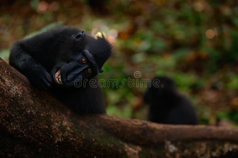 Celebes λοφιοφόρο Macaque, nigra Macaca, μαύρος πίθηκος με το ανοικτό στόμα με το μεγάλο δόντι, που κάθεται στο βιότοπο φύσης, σκ στοκ φωτογραφία με δικαίωμα ελεύθερης χρήσης