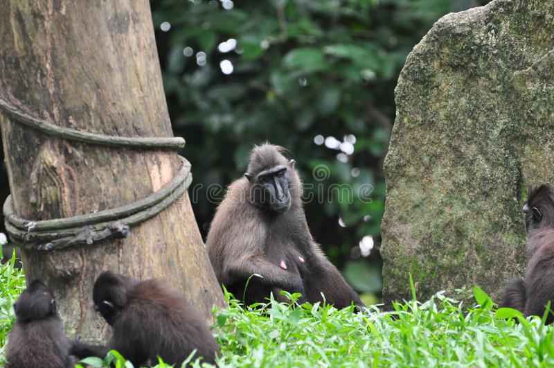 Celebes Crested macaque. The Celebes Crested Macaque (Macaca nigra), also known as the Crested Black Macaque, Sulawesi Crested Macaque, or the Black Ape, is an royalty free stock photography