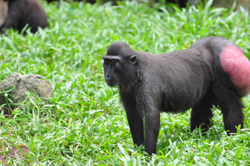 Celebes Crested macaque. The Celebes Crested Macaque (Macaca nigra), also known as the Crested Black Macaque, Sulawesi Crested Macaque, or the Black Ape, is an royalty free stock photos