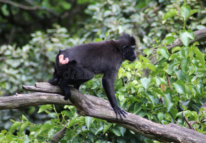 The Celebes crested macaque. Climbing in tree. Foto taken in Blijdorp zoo in Rotterdam, Netherland stock photography
