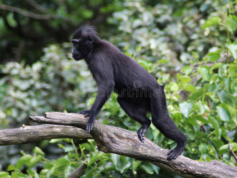 The Celebes crested macaque. Climbing in tree. Foto taken in Blijdorp zoo in Rotterdam, Netherland stock image