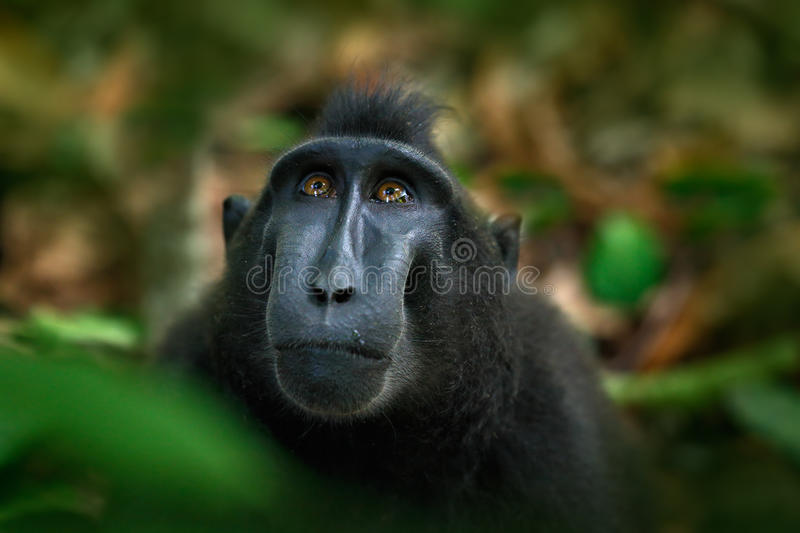 Celebes crested Macaque, Macaca nigra, black monkey, detail portrait, sitting in the nature habitat, dark tropical forest. Wildlife Asia stock images