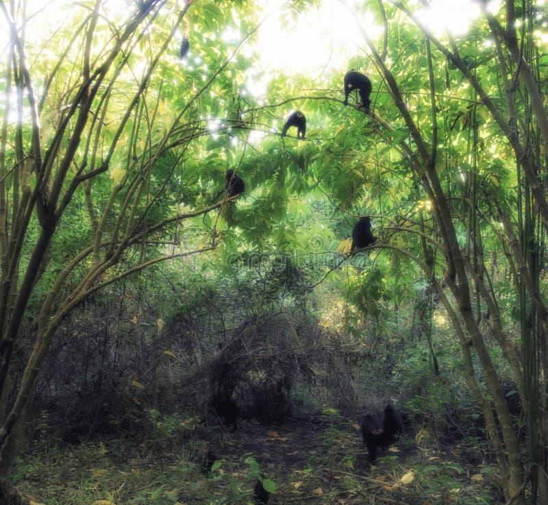 Celebes czubaty makak & x28; Macaca nigra& x29; małpia rodzina w drzewie obraz stock