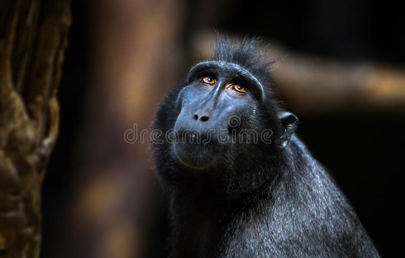 Celebes makaka Macaca czubaty nigra zdjęcia stock