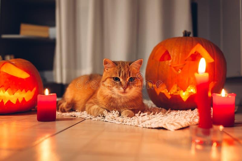 Celebración de Halloween Gato rojo que se sienta por las calabazas talladas en cocina Jack-o-linterna imágenes de archivo libres de regalías