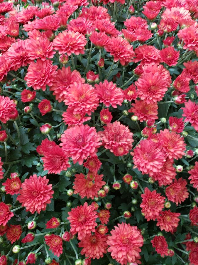 Celebrate Early Fall with Beautiful Red Mums. Celebrate Early Fall Mums are a favorite flower that gardeners enjoy planting in the early fall months. Crispy stock images