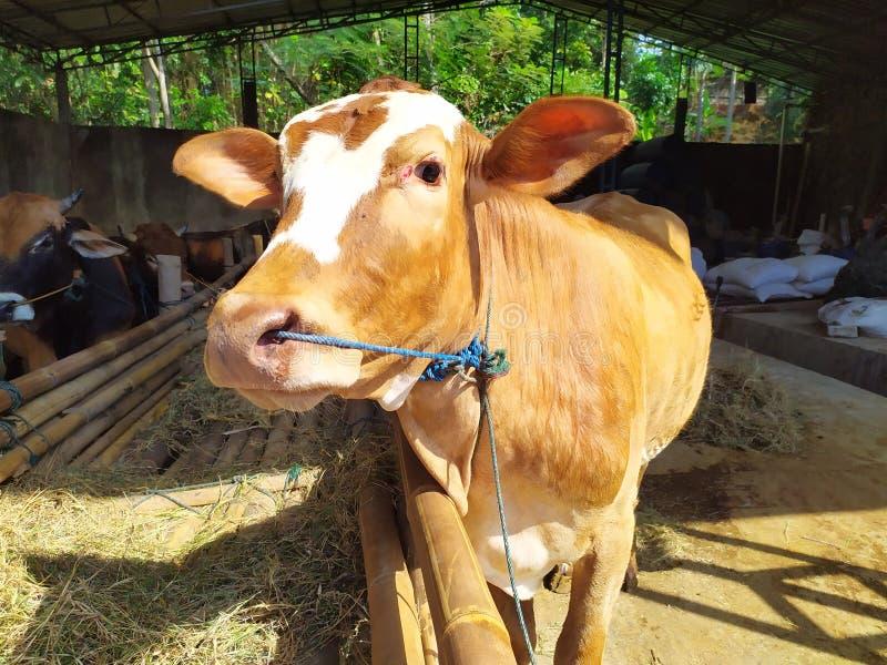 Cattle on the farm are ready to be slaughtered for Eid al-Adha. Celebration, mubarak, eid, muslim, festival, islam, arabic, adha, islamic, , illustration, goat royalty free stock photography