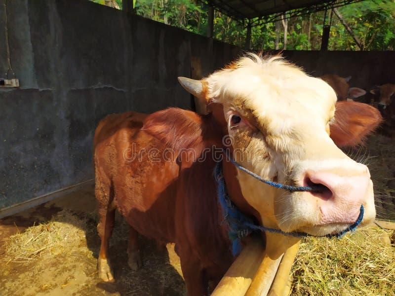 Cattle on the farm are ready to be slaughtered for Eid al-Adha. Celebration, mubarak, eid, muslim, festival, islam, arabic, adha, islamic, , illustration, goat royalty free stock images