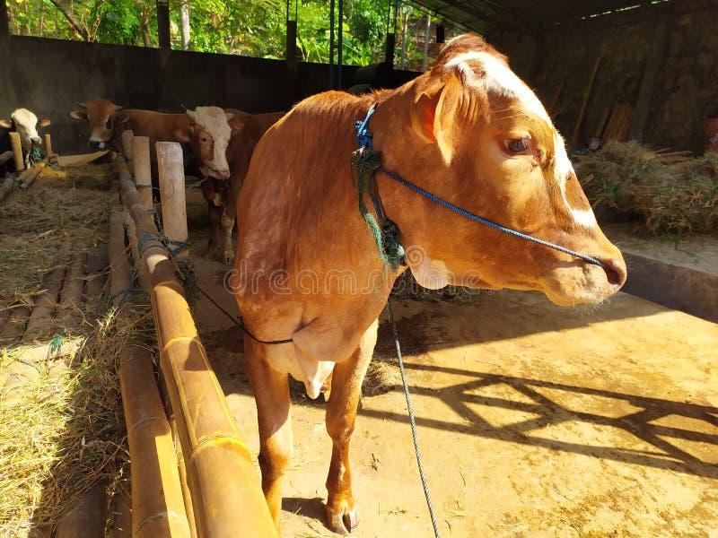 Cattle on the farm are ready to be slaughtered for Eid al-Adha. Celebration, mubarak, eid, muslim, festival, islam, arabic, adha, islamic, , illustration, goat stock images