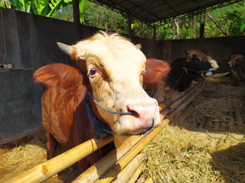 Cattle on the farm are ready to be slaughtered for Eid al-Adha. Celebration, mubarak, eid, muslim, festival, islam, arabic, adha, islamic, , illustration, goat royalty free stock photo