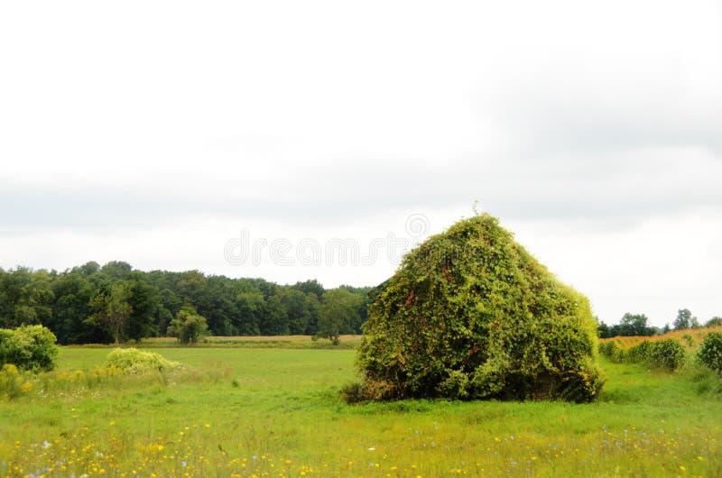 Celeiro de madeira do vintage no campo do país coberto de vegetação com a vinha imagem de stock