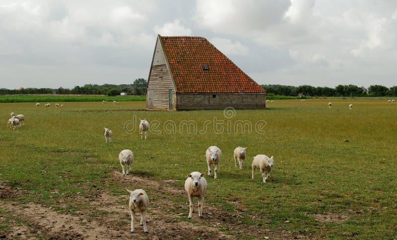 Celeiro Países Baixos dos carneiros fotos de stock royalty free