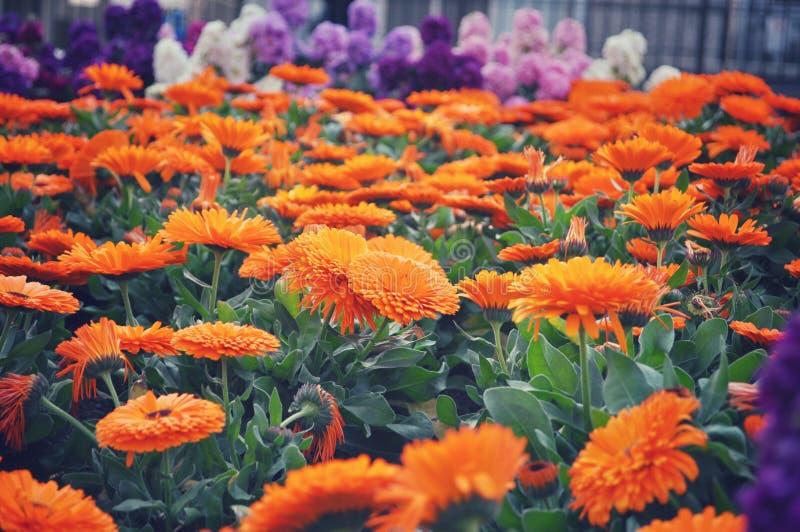 Celendula  also known as pot marigold. Celendula also known as pot marigold in Japan abstract background beautiful beauty bloom blooming blossom botany bright royalty free stock photography