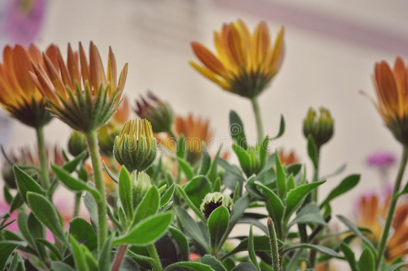 Celendula pot marigold. Viewed from below royalty free stock photography