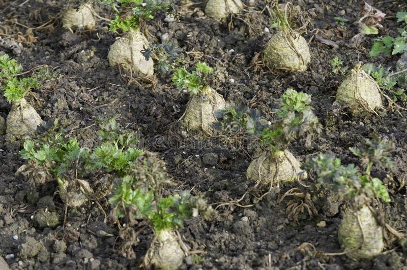 Celeriac. In a vegetable garden stock images