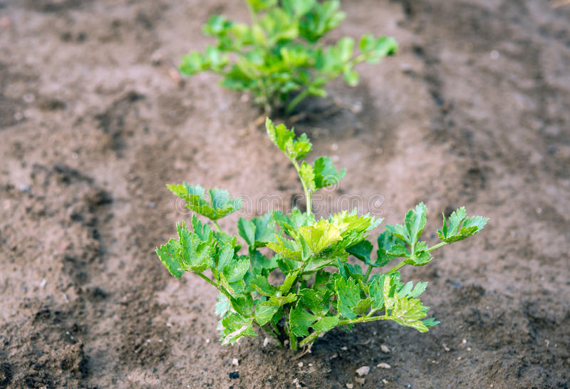 Celeriac plants growing in soil from close. Closeup of a Celeriac plant growing in clay ground just after a rain shower stock photography