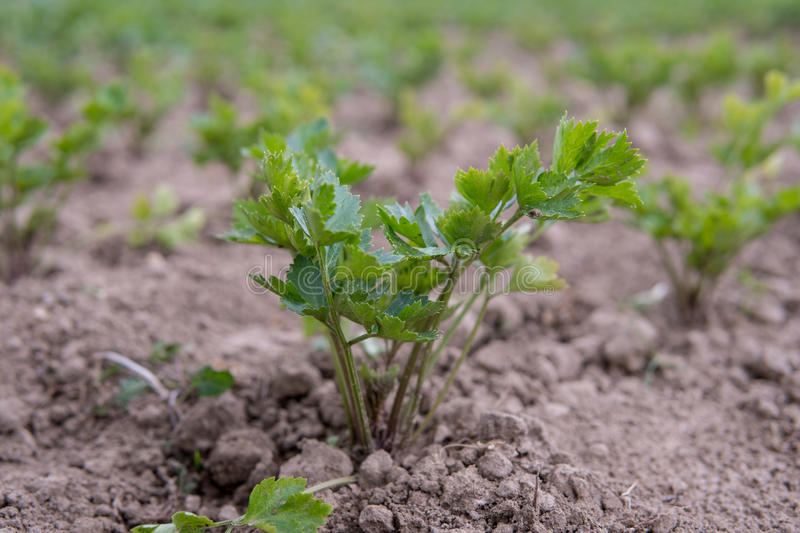 Celery growing on the field stock image