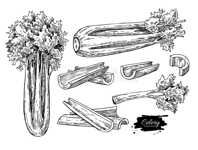 Celery hand drawn vector illustration set. Isolated Vegetable engraved style object. Detailed vegetarian food. Drawing. Farm market product. Great for menu stock illustration