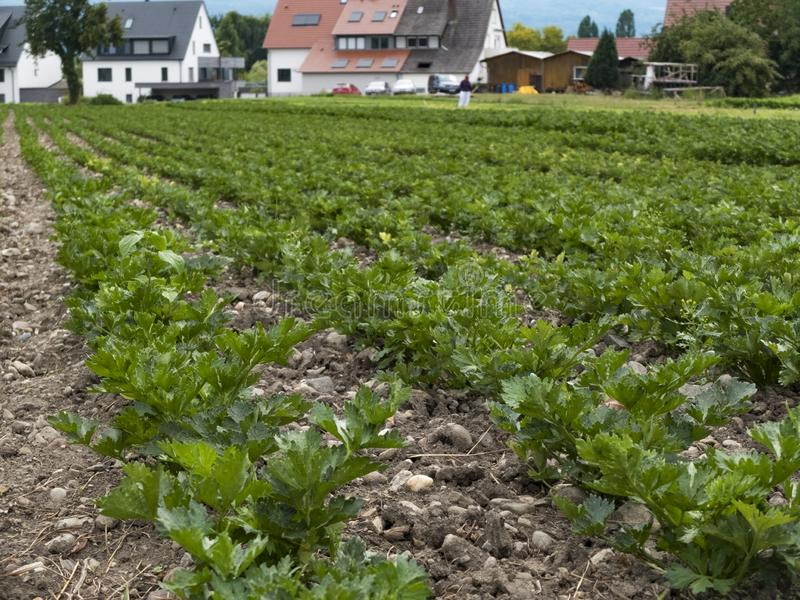 Celery plantation, on the background typical dwellings of Germany royalty free stock photo