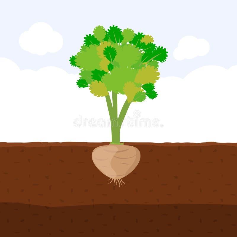 Celery with root in soil, Fresh organic vegetable garden plant growing underground, Cartoon flat vector vector illustration