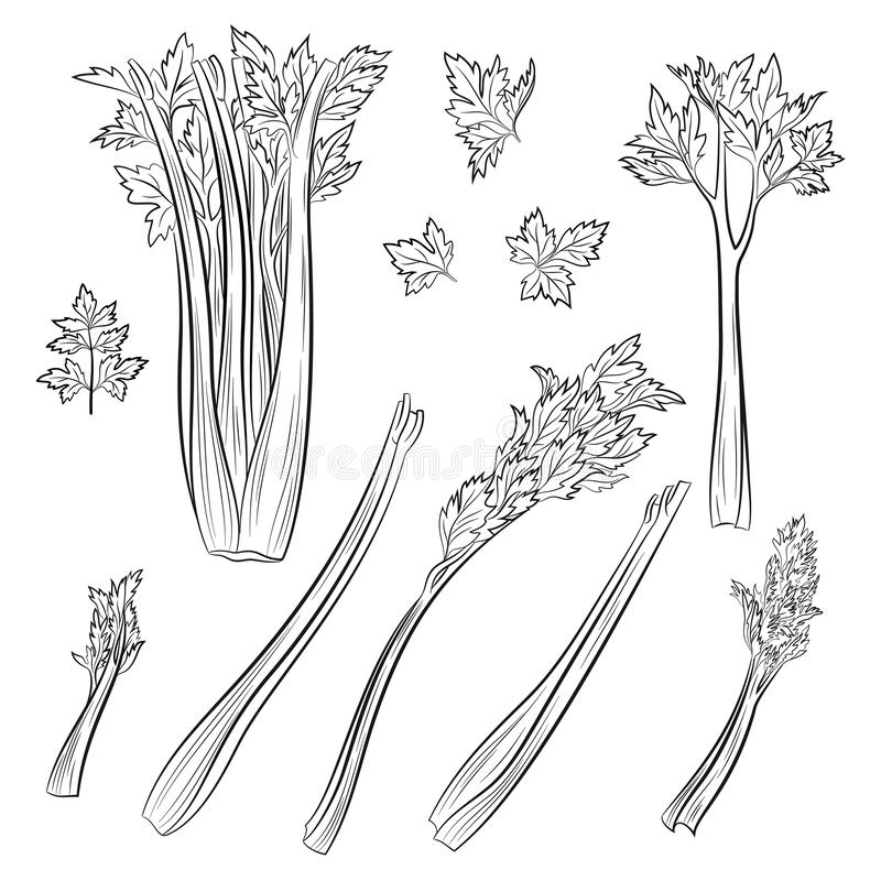 Celery, Set of Pictograms. Set of Celery Leaves, Black Pictograms Isolated on White. Vector royalty free illustration