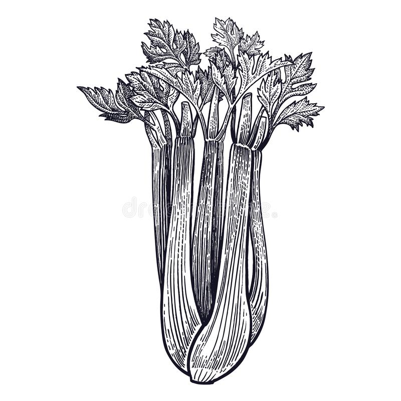 Celery vintage engraving. Celery. Plant isolated. Vegetarian food for design menu, recipes, decoration kitchen items. White and black. Vector illustration art royalty free illustration