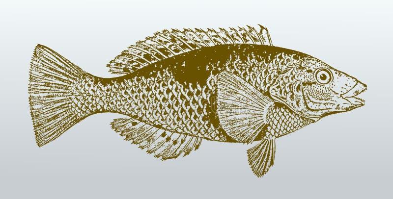 Celidotus manchado del notolabrus, un pescado de Australia en la opinión del perfil stock de ilustración