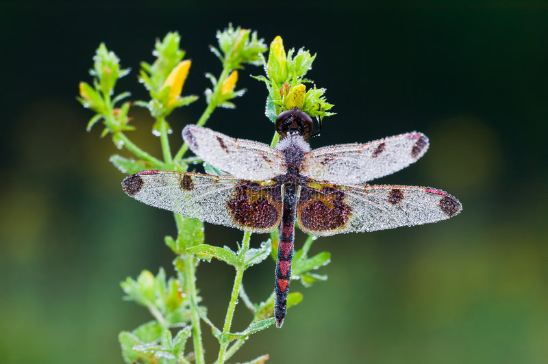 Download Celithemis elisa Dragonfly stock photo. Image of meadow - 7366968