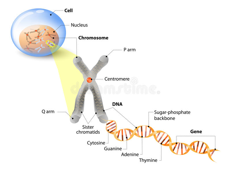 Cell, Chromosome, DNA and gene. Cell Structure. The DNA molecule is a double helix. A gene is a length of DNA that codes for a specific protein. Genome Study royalty free illustration