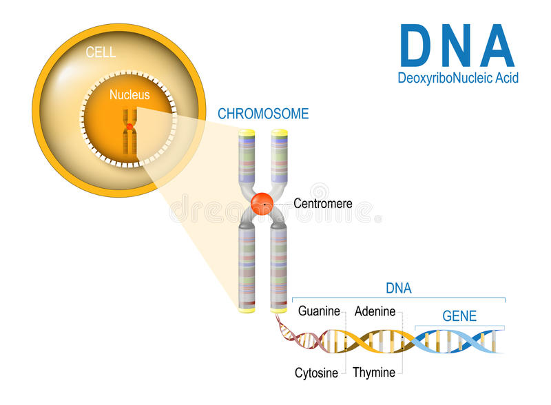 Cell, Chromosome, DNA and gene. Cell Structure. The DNA molecule is a double helix. A gene is a length of DNA that codes for a specific protein. Genome Study vector illustration