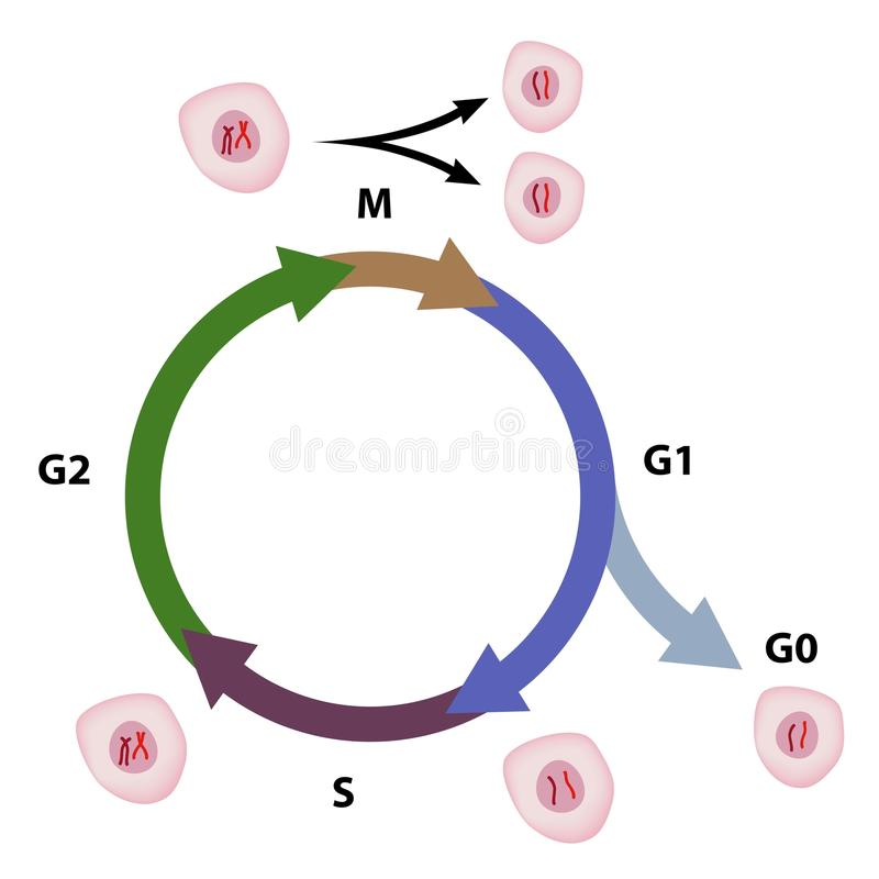 Download The cell cycle stock vector. Image of biology, duplication - 25707829