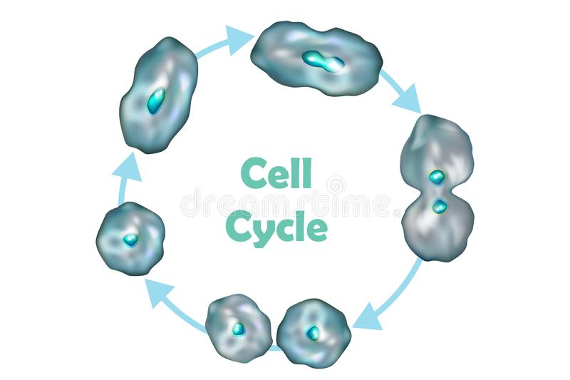 Diagram Of The Cell Cycle Stock Illustration  Illustration