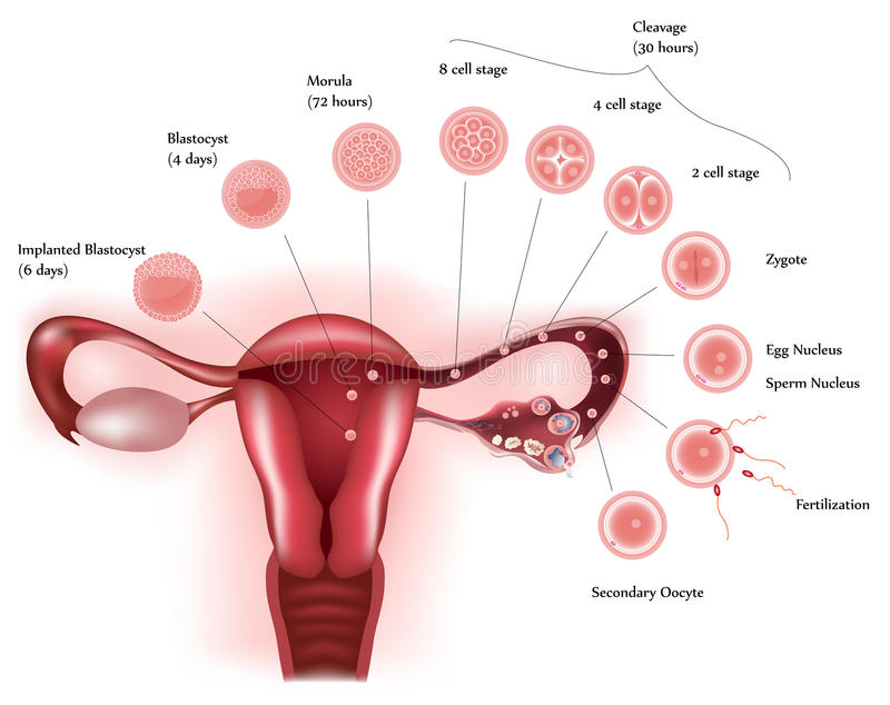 Cell development. Female reproductive system showing ovulation, fertilization, cell further development and finally implantation vector illustration