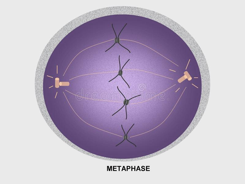 Cell Division Metaphase Stock Illustration  Illustration