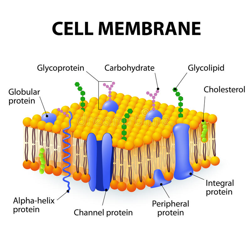 Cell membrane royalty free illustration