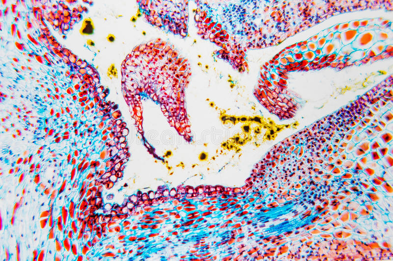 Cell microscopic- flower ovary royalty free stock photography
