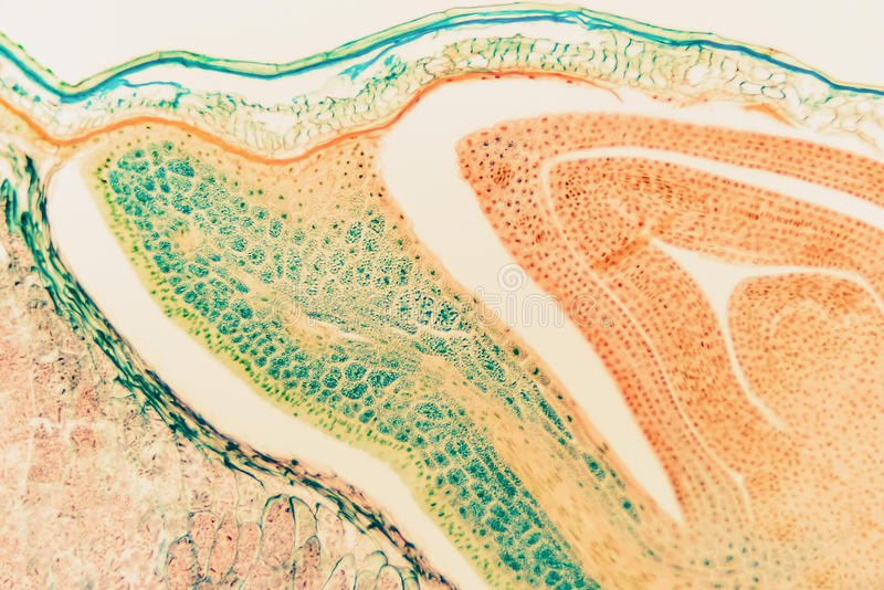 Cell microscopic- macro weevil rye royalty free stock photo
