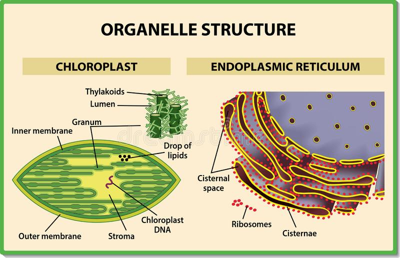 Cell organelles structure. Chloroplast and Endoplasmic reticulum - Vector illustration. Useful for study biology and science education stock illustration