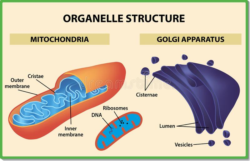 Cell organelles structure. Mitochondria and Golgi apparatus - Vector illustration. royalty free stock image