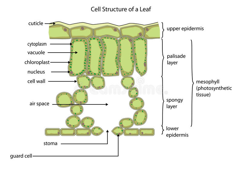 Cell structure of a leaf stock vector. Illustration of ...