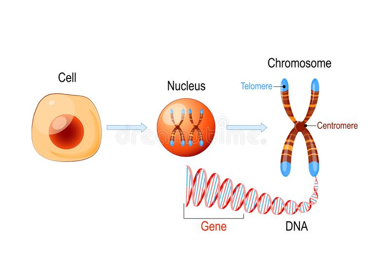 Cell Structure. Nucleus with chromosomes, DNA molecule, telomere and gene. Cell Structure. Nucleus with chromosomes, DNA molecule double helix, telomere and gene stock illustration