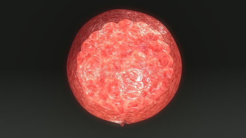 Cella dell'ovulo umano illustrazione di stock