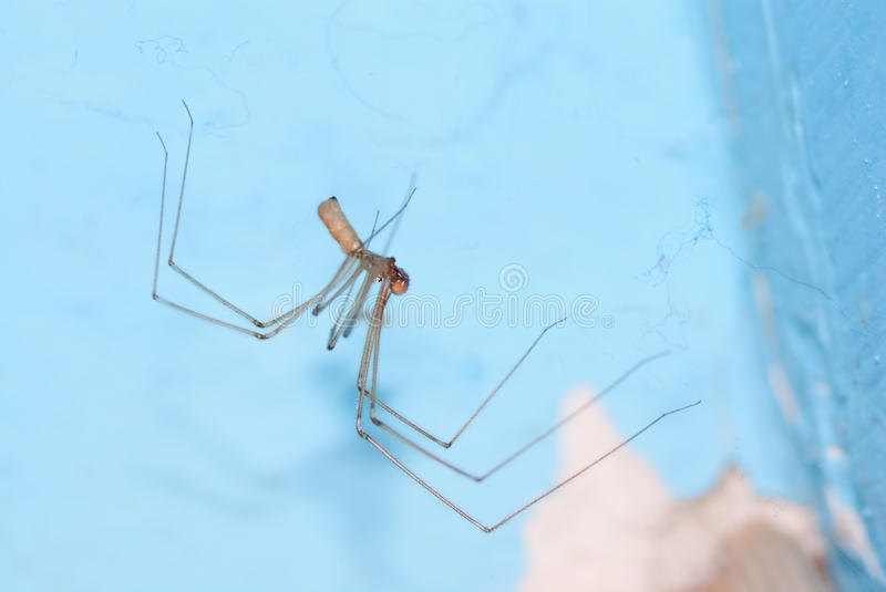 Download Cellar spider stock photo. Image of pholcus, hairy, closeup - 23780054