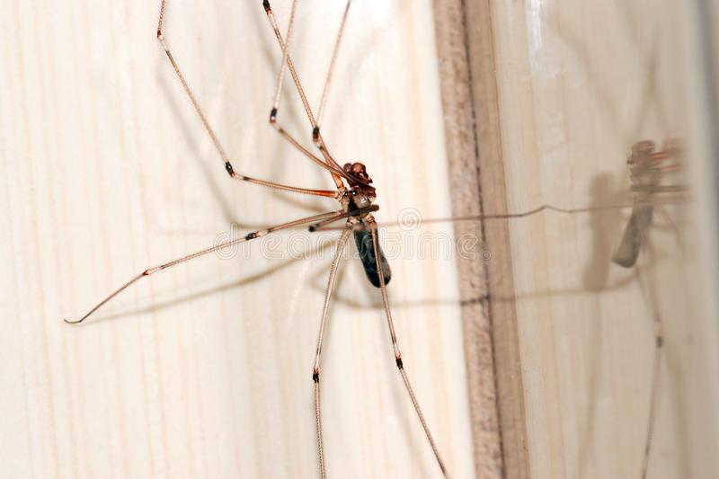 Cellar Spider Close-up Photography royalty free stock images
