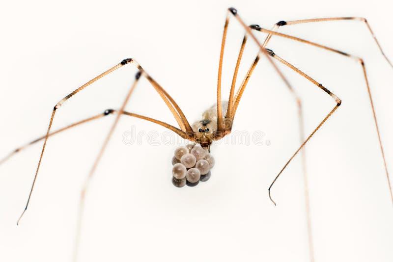 Download Cellar spider stock image. Image of pholcus, black, nest - 37013729