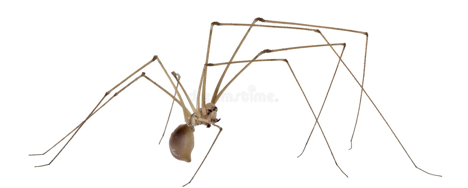 Cellar spider isolated on white. Background royalty free stock photography